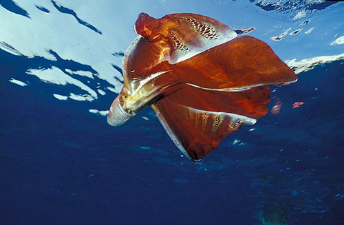 amazing and interesting facts - blanket octopus